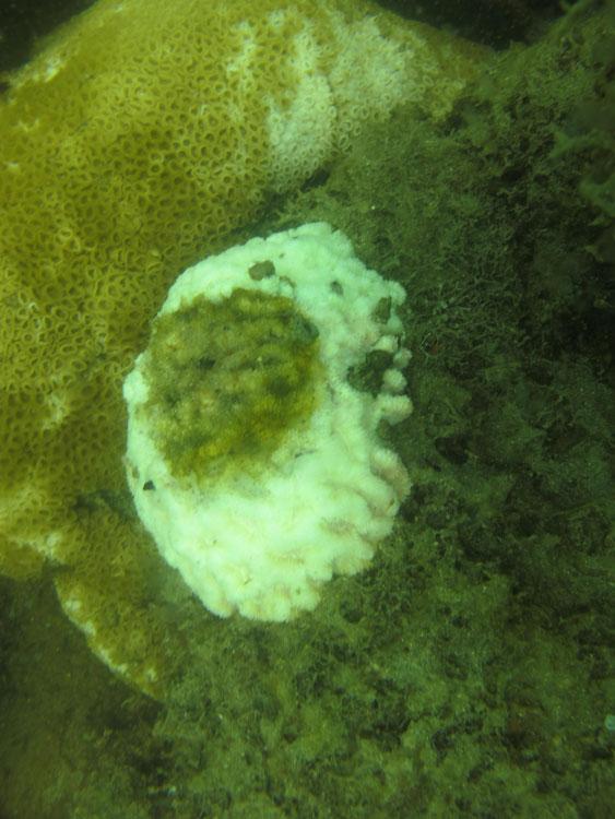 colonia-de-coral-com-areas-com-branqueamento