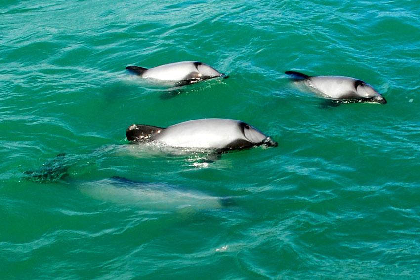 golfinhos-de-hector