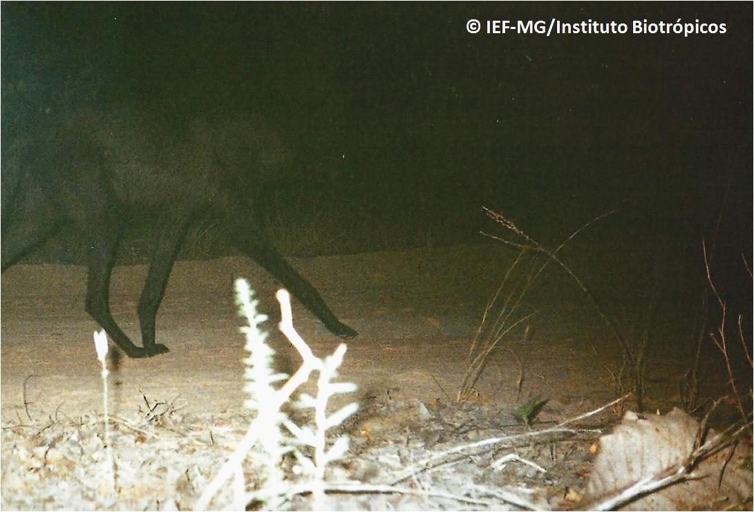 lobo preto1