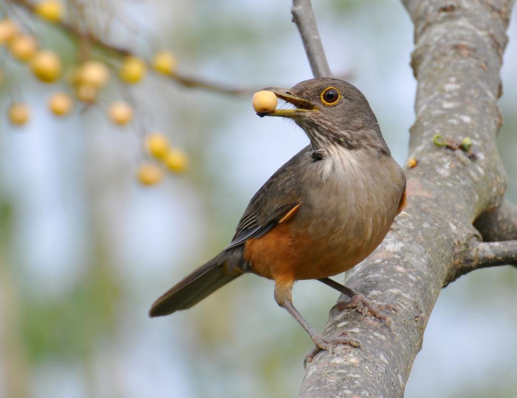 O canto do sabiá-laranjeira é lindo. Mas há quem prefira vê-lo assim, com a boca cheia para ficar quieto. Foto: Cláudio Timm/Flickr