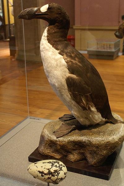 Alca empalhada. Foto: Wikipédia.