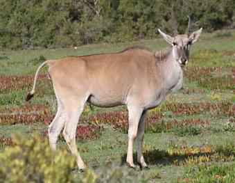 Antílope, um dos 86 mamíferos que vivem na Reserva De Hoop.