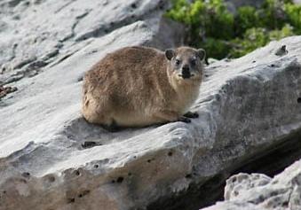Um hyrax do Cabo avistado da Trilha da Baleia.