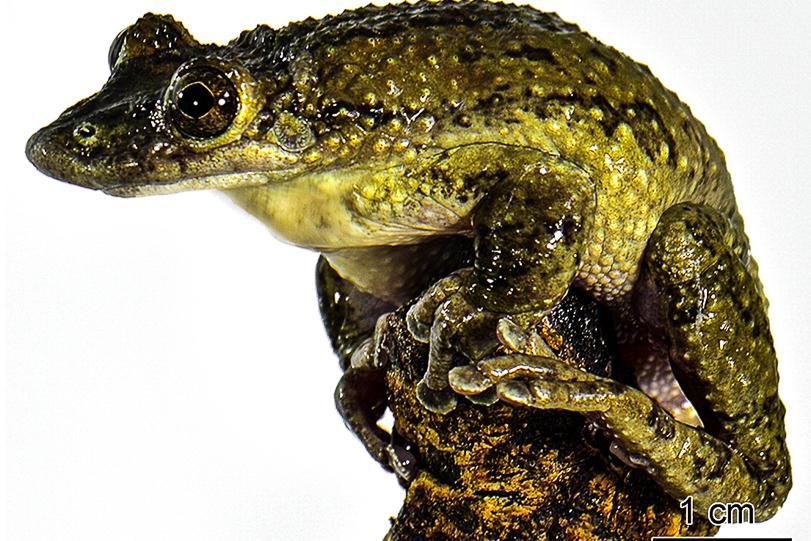 Perereca da caatinga possui um raro mecanismo de defesa. As glândulas de veneno estão associadas a espinhos na cabeça, o que pode permitir que ela inocule veneno quando atacada por predadores. Crédito: Carlos Jared