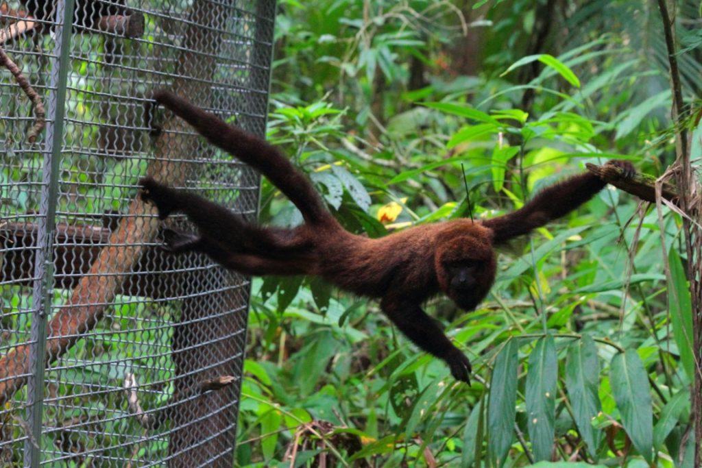 Macaco bugio (Alouatta guariba) entre as grades do viveiro e a natureza aberta. Foto: Ernesto Viveiros de Castro/ICMBio.