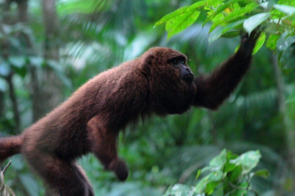 Macacos bugios (Alouatta guariba) têm nova morada no Parque Nacional da Tijuca. Quatro membros da espécie foram reintroduzidos essa semana. Foto: Ernesto Viveiros de Castro/ICMBio.
