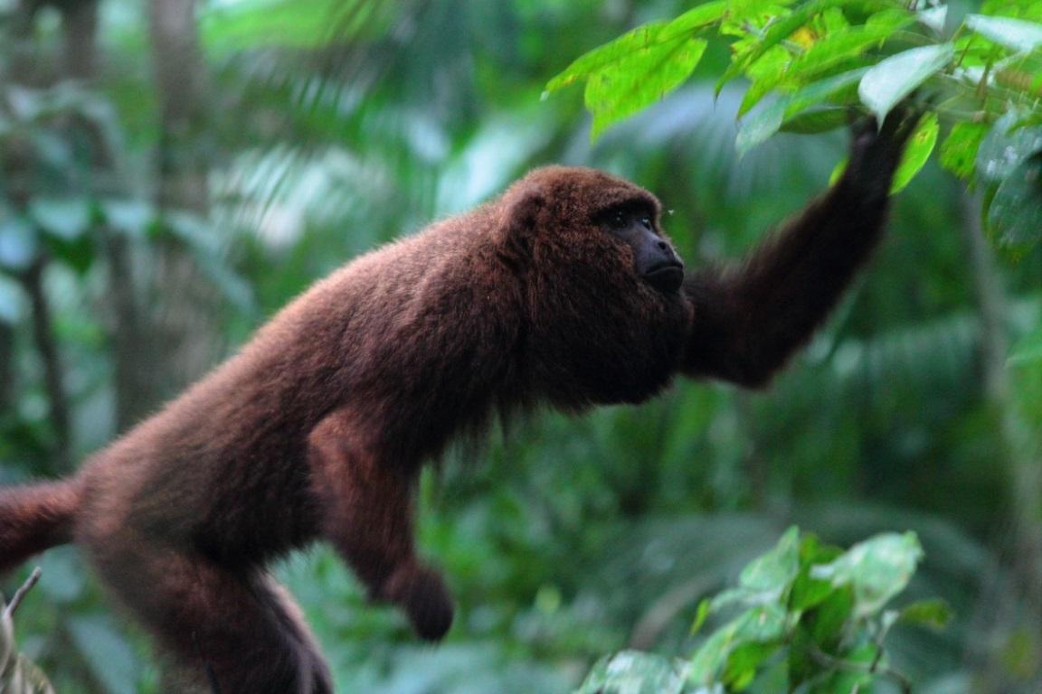 Macacos Bugios são reintroduzidos no Parque Nacional da Tijuca