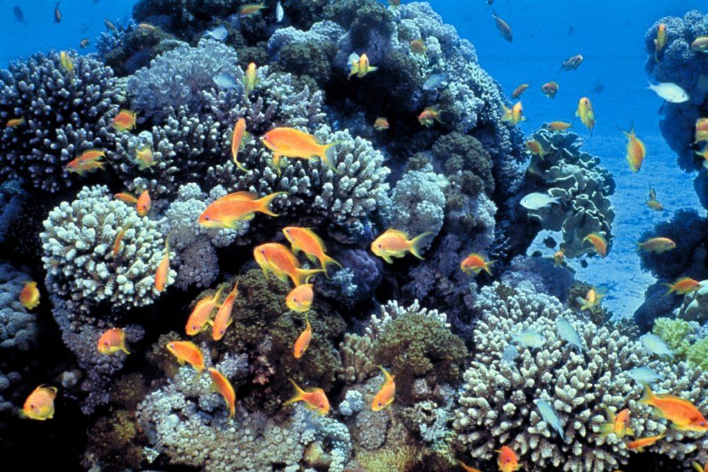 De acordo com o relatório do WWF, cerca de 25% das espécies marinhas vivem nos recifes de corais, que atualmente ocupam nos oceanos uma área com metade do tamanho da França. Foto: David Darom / Wikipedia.