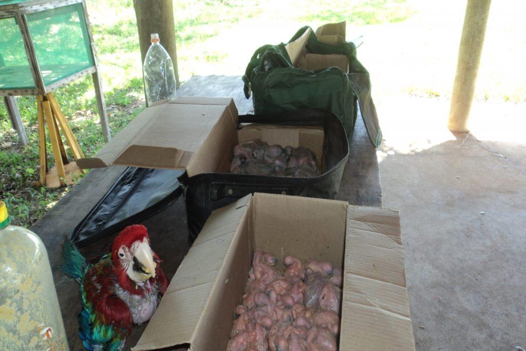Aves eram transportadas em caixas de papelão dentro de malas de viagem. Foto: PMA/MS.