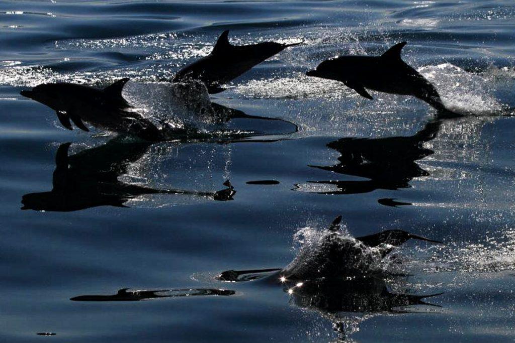 Golfinhos-pintado-do-atlântico (Stenella frontalis).