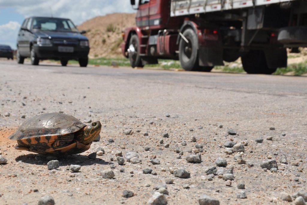 As estradas brasileiras não estão preparadas para prevenir o atropelamento de fauna. Foto: DNIT.
