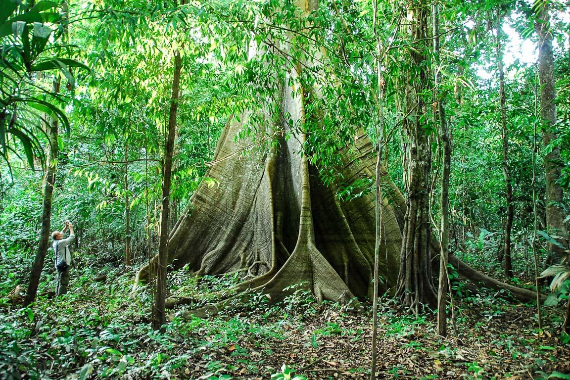 Desmatamento coloca em risco até 57% das espécies de árvores da Amazônia