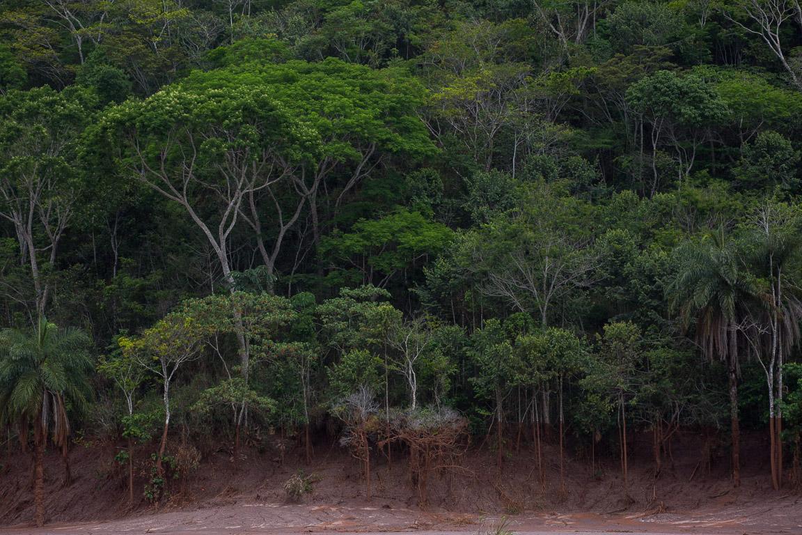 Marcas no tronco das árvores, ao longo do Rio Doce, mostram a altura que a lama atingiu.