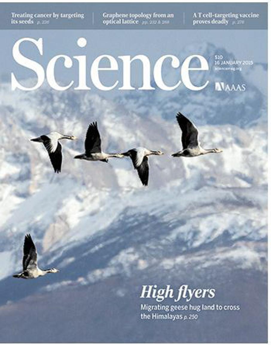 Como os gansos respiram no ar rarefeito? Uma das grandes questões científicas.