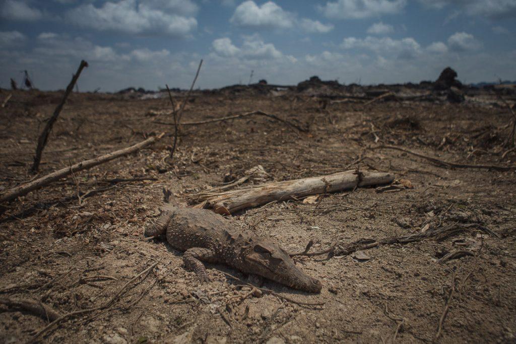 Jacaré encontrado no centro de uma ilha onde houve queimadas. Foto: Marcio Isensee e Sá