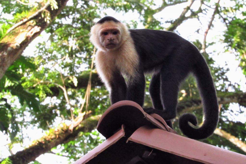 Macaco-cara-branca na reserva privada Club Punta Leona, onde ocorreu o XI Congresso Latinoamericano de Redes de Reservas Privadas. Foto: Fabíola Ortiz.