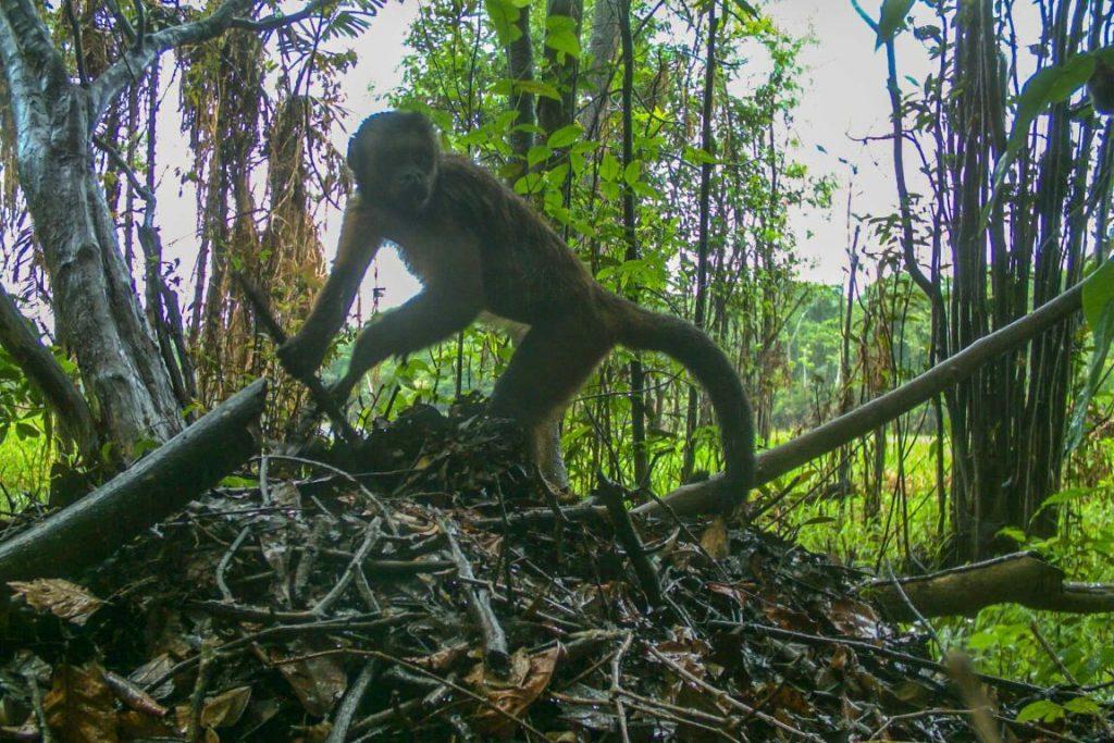 Armadilhas fotográficas registraram o roubo. Macaco-prego usa um graveto para abrir a cavidade do ninho e retirar o ovo de jacaré-açu. Crédito: Instituto Mamirauá.