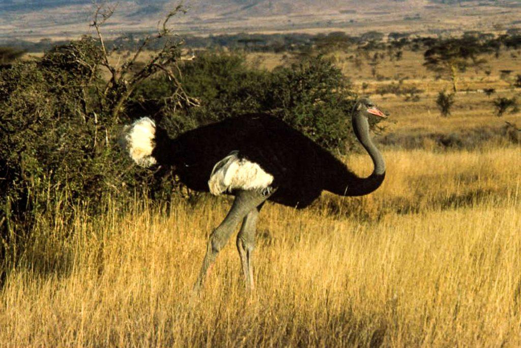 Avestruz da somália. Foto: Wikipedia
