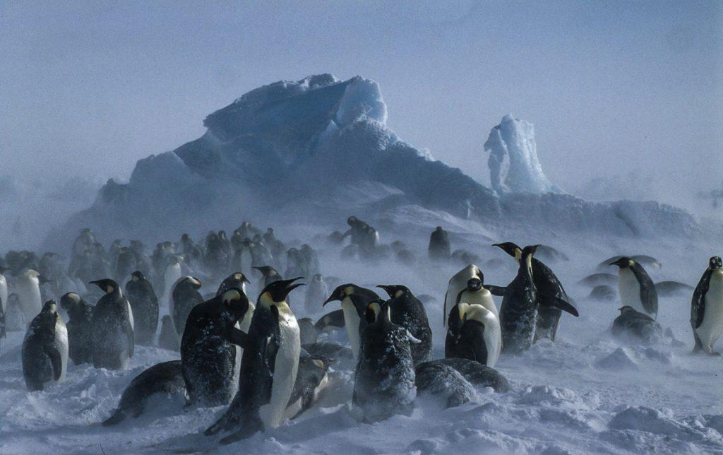 O pinguim imperador (Aptenodytes forsteri) curtindo o inverno na Antártica. Foto: Wikipedia