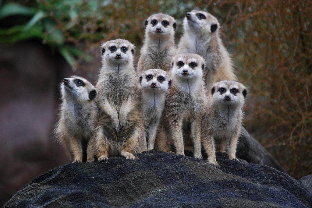 Grupo de suricatas no zoológico de Auckland, Nova Zelândia. Foto: Wikimedia