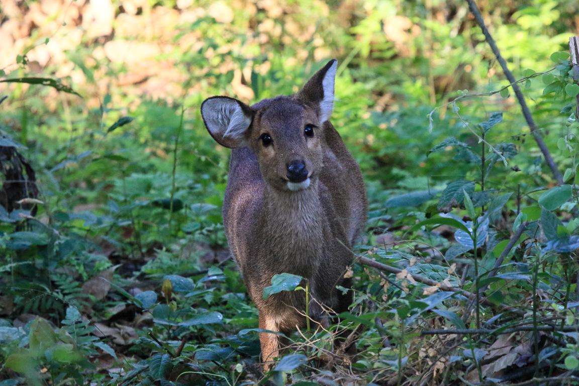 Protegida de caçadores, esta fêmea de <i>Hog Deer Hyelaphus</i> (ou Axis) <i>porcinus</i> nos encara curiosa. Ainda abundante em Kaziranga e no passado do Paquistão até a China, esta é uma espécie Em Perigo de extinção devido à conversão de seu habitat (pantanais e várzeas) em áreas agrícolas e pessoas comendo-os até a extinção.