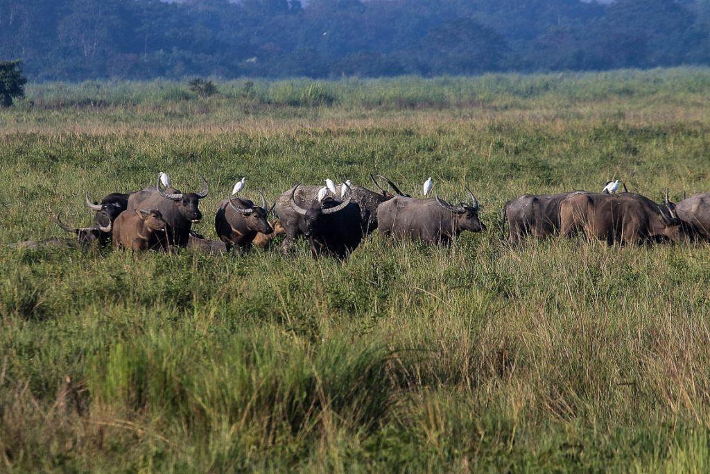 Uma manada de búfalos selvagens. Kaziranga abriga uma das maiores populações remanescentes dos ancestrais dos búfalos domésticos que encontramos no Brasil.