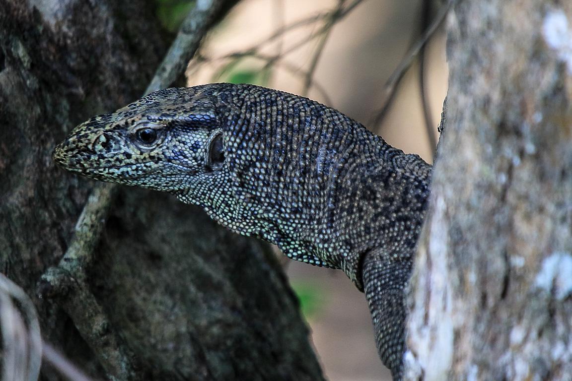 O Bengal Monitor Varanus bengalensis, primo do dragão-de-komodo.