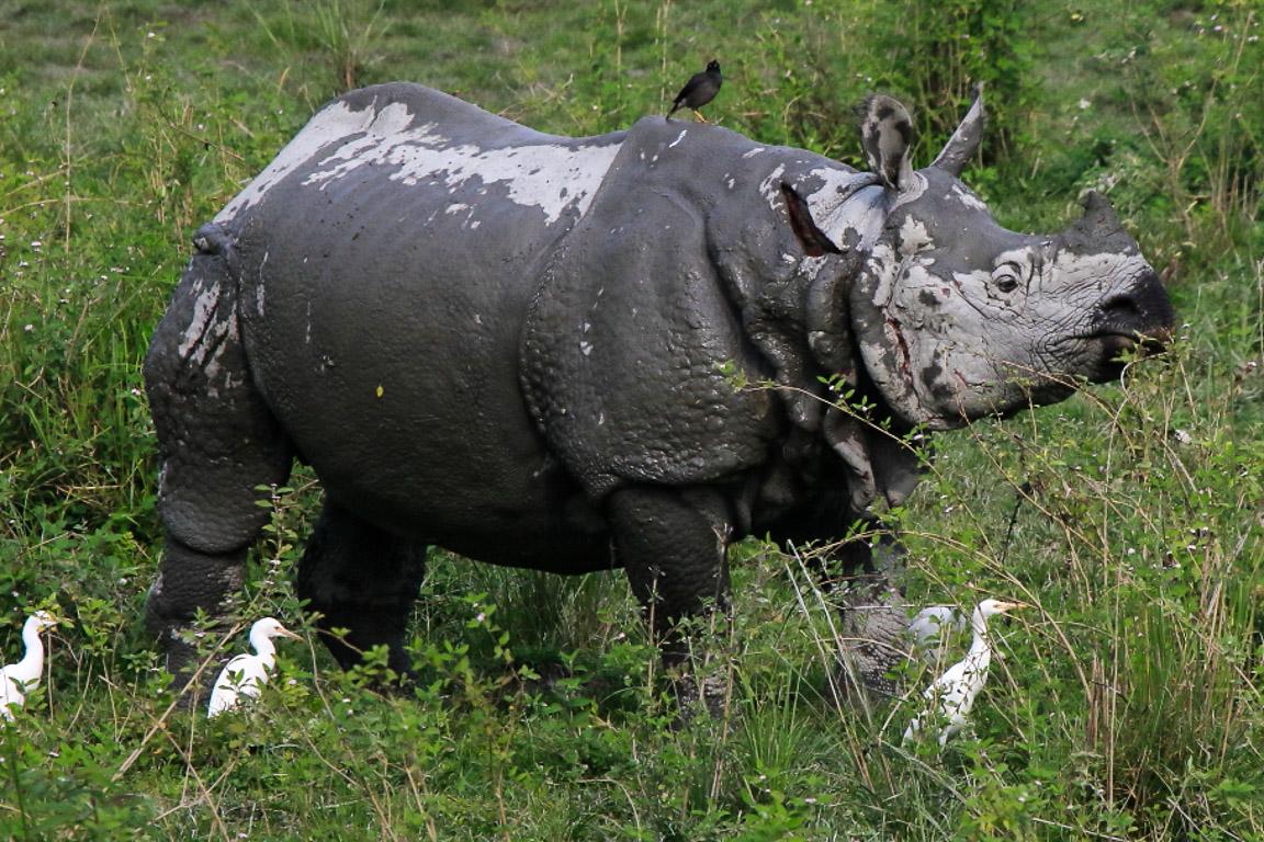 Este macho mostra as cicatrizes de uma batalha com outro rinoceronte. Os Rinocerontes-indianos têm incisivos longos e afiados e lutam mordendo seus oponentes.