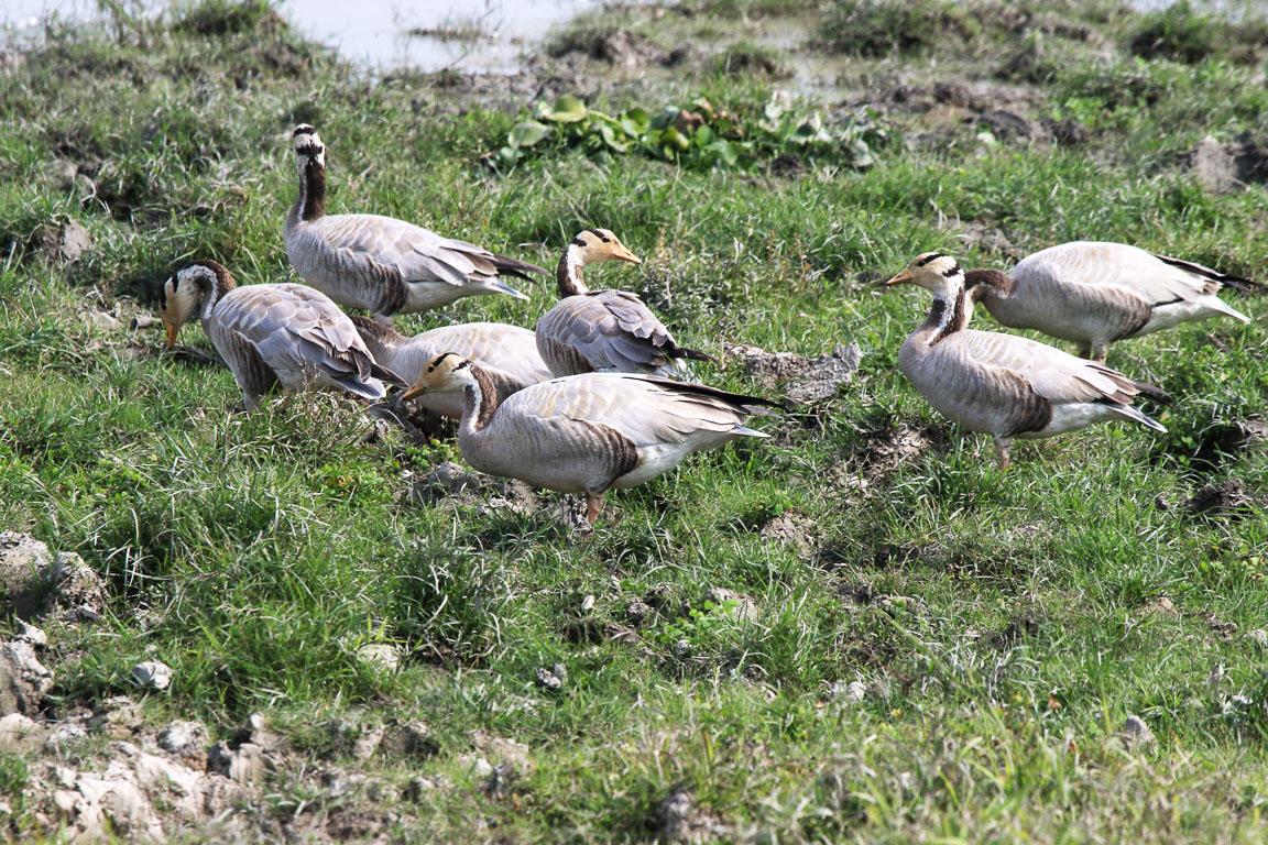 O Bar-headed Goose Anser indicus nidifica no Planalto Tibetano e Ásia Central e deve voar sobre o Himalaia para chegar a Kaziranga, uma das suas áreas de invernada.