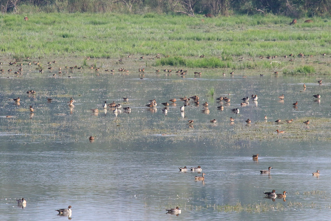 Dezenas de milhares de patos de diversas espécies migram do norte da Ásia e mesmo da Sibéria até Kaziranga para passar o inverno.