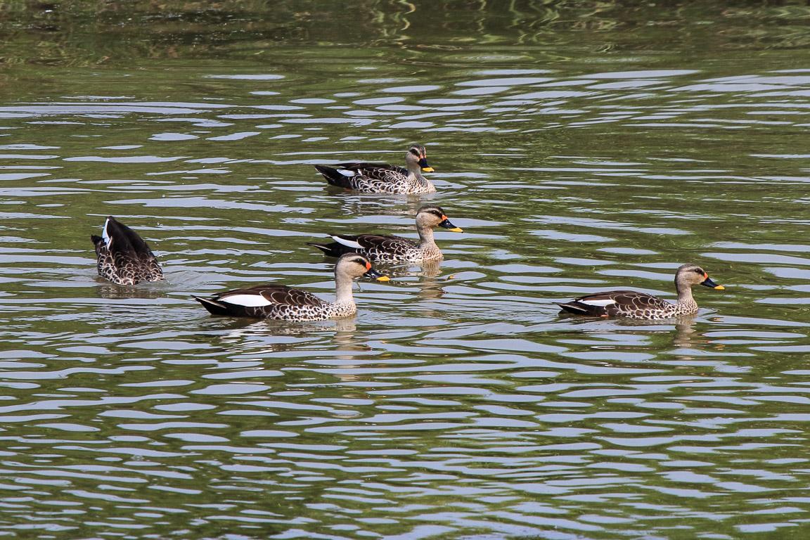 O Indian Spot-billed Duck Anas poecilorhyncha é uma espécie residente.