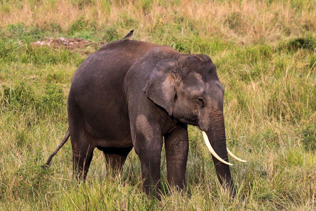 Kaziranga abriga mais de 1.200 Elefantes-asiáticos Elephas maximus, que migram entre a planície de inundação do Bramahputra e as colinas Karbi Anglong por quatro corredores que cortam áreas agrícolas. Esta espécie de elefante já ocupou o território que vai da Síria – onde reis assírios e faraós egípcios os caçavam - ao que é hoje Beijing, na China.