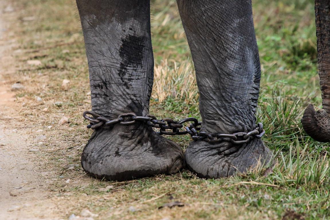 As condições em que os elefantes usados em passeios são mantidos me lembram da escravidão humana.