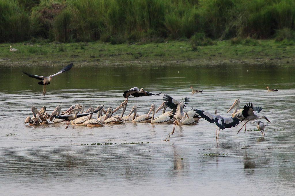 Spot-billed Pelican Pelecanus phillippensis, outra das muitas aves aquáticas do Pantanal de Kaziranga.