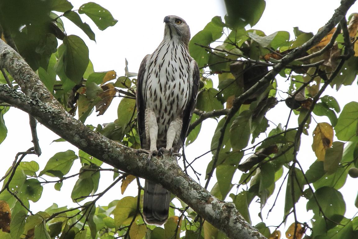 Uma Changeable Hawk-eagle Nisaetus cirrhatus, uma das muitas aves de rapina de Kaziranga.