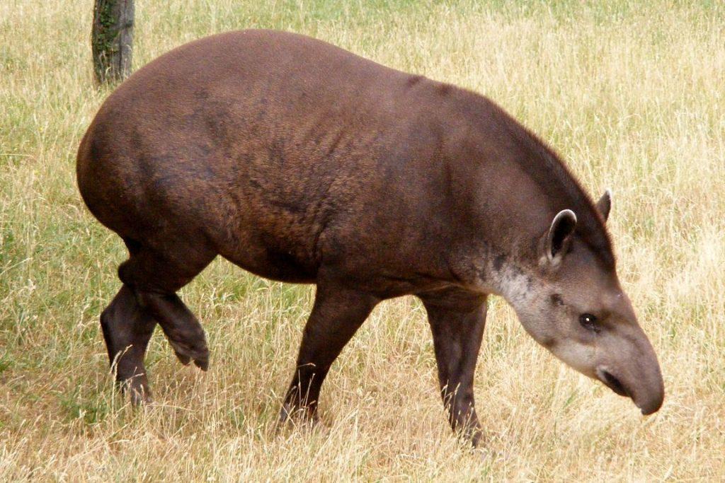 Anta. Foto: Wikipédia