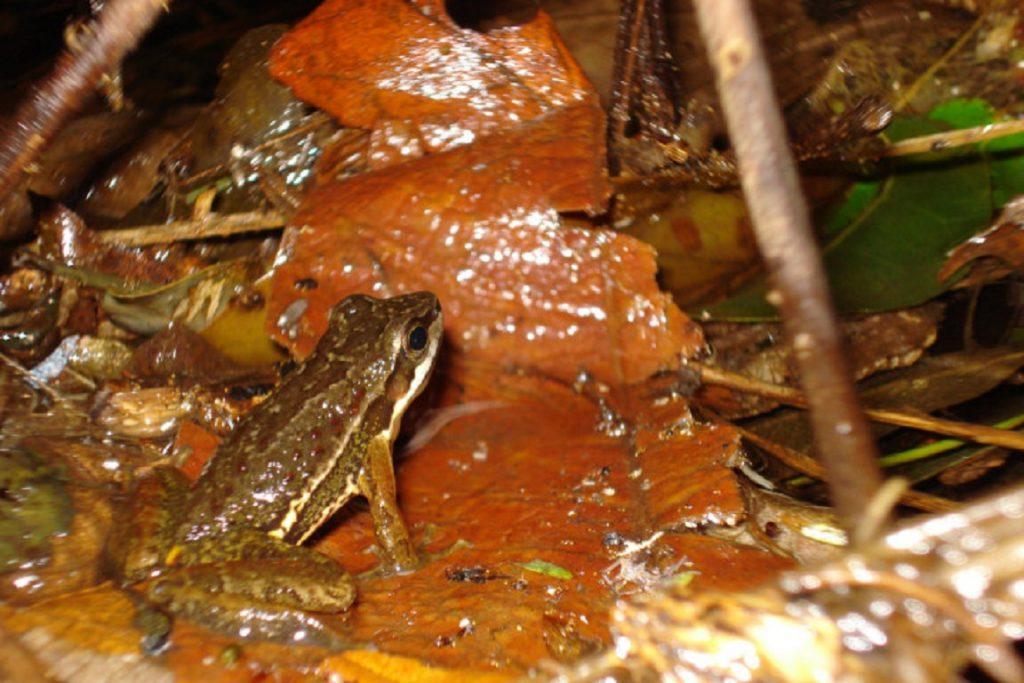 A surpreendente Hylodes japi. Foto: Fábio Perin de Sá/Arquivo.