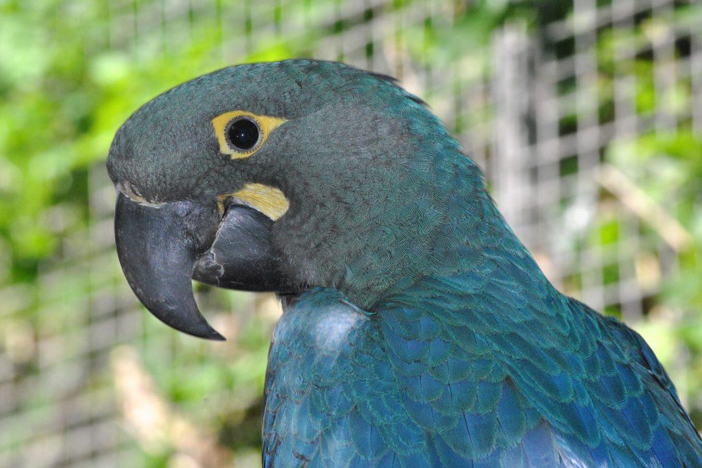17122015-arara-azul