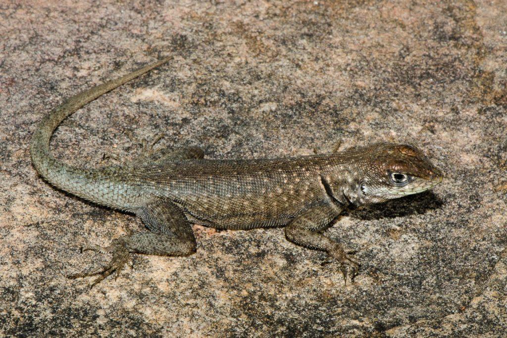 Exemplar de Tropidurus sertanejo coletado durante uma expedição realizada em 2013 pelo grupo de cientistas à Serra do Arame, em Ibotirama, Bahia. Foto: Pedro Peloso