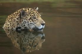 Onça-pintada, espécie brasileira ameaçada de extinção. Foto: José Sabino.
