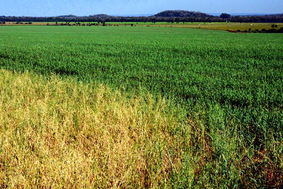 Áreas de lavoura vêm aumentando na região como forma de restaurar pastagens degradadas. Foto: Fabio Pellegrini
