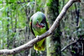 Ameaçado de extinção, o Papagaio-de-cara-roxa é endêmico da faixa litorânea da Mata Atlântica que vai do sul de São Paulo ao norte de Santa Catarina. Foto: Vanessa Kanaan.