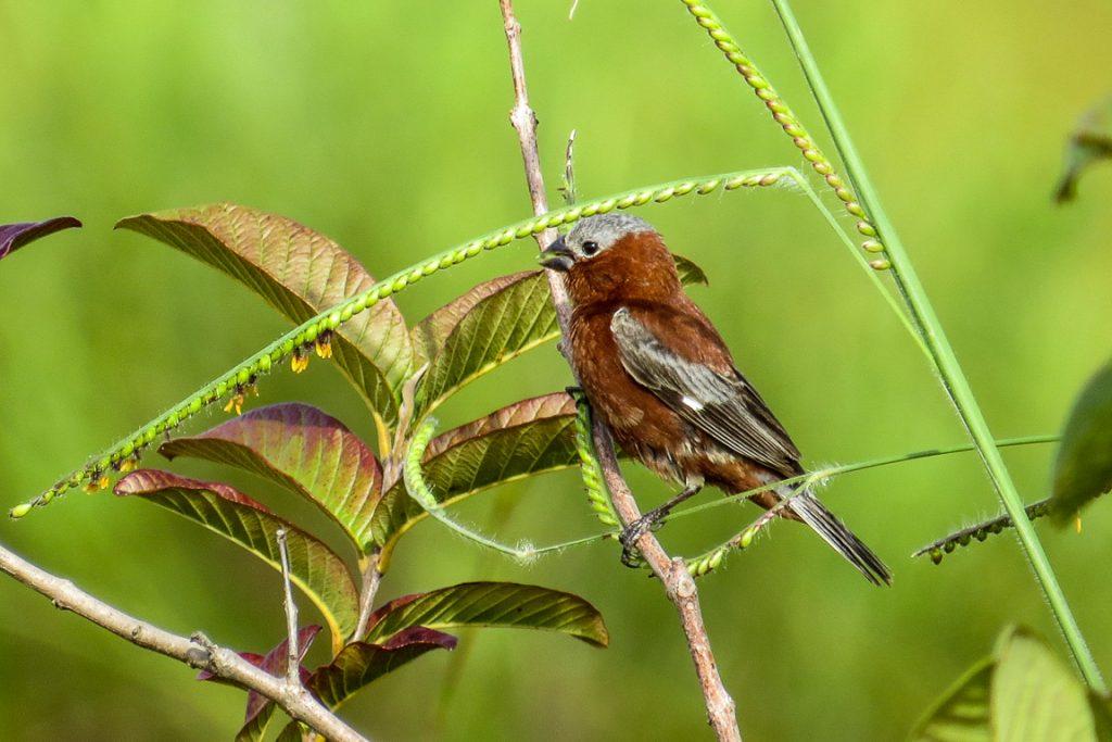 Caboclinho-de-chapéu-cinzento (Sporophila cinnamomea). Foto: Victor do Nascimento/Fundação Neotropica