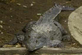 Crocodilo-do-orinoco é considerado o maior predador das Américas, mas está criticamente ameaçado de extinção. Foto: Josh More/Flickr