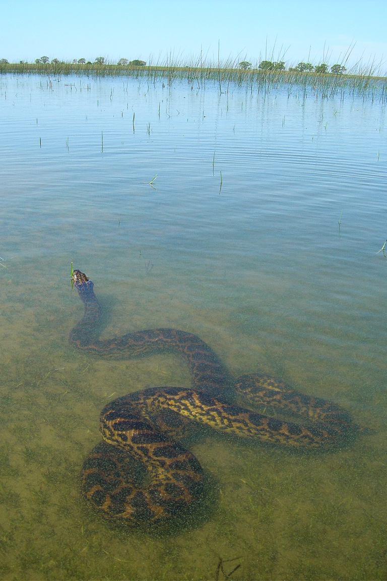 Sucuri-amarela repousando na água. Foto: Tomas Waller/IUCN