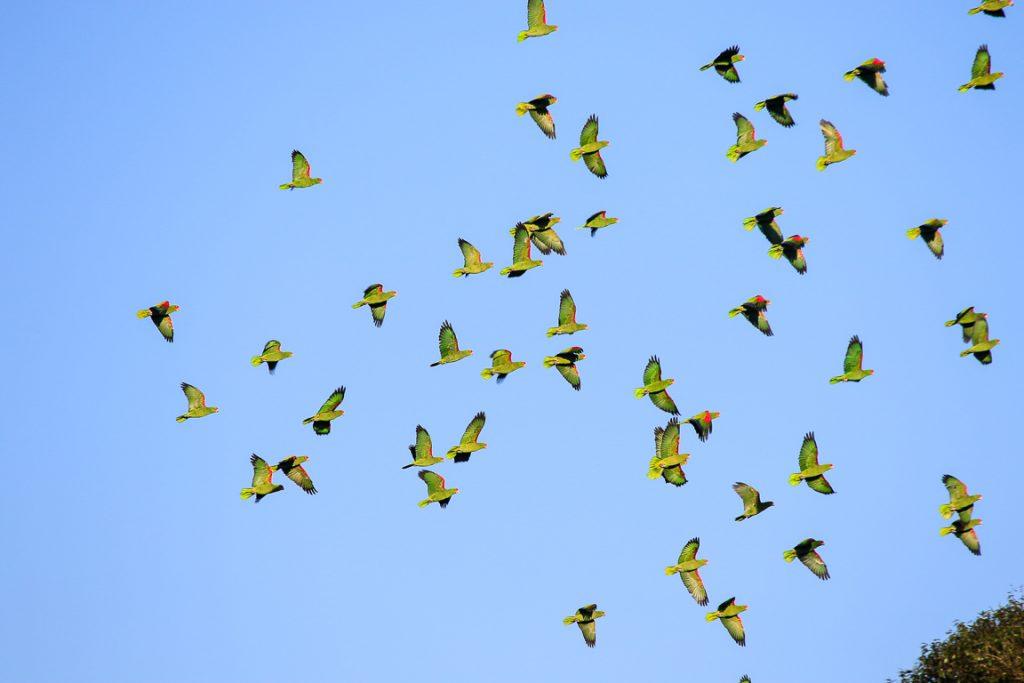 Papagaios-charão de Urupema. Foto: Fabio Olmos