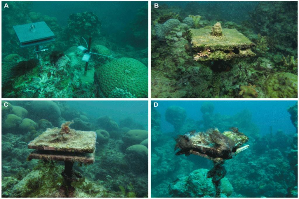 Imagens das placas de colonização instaladas nos recifesrasos de Abrolhos. Foto: Fernando Moraes/JBRJ