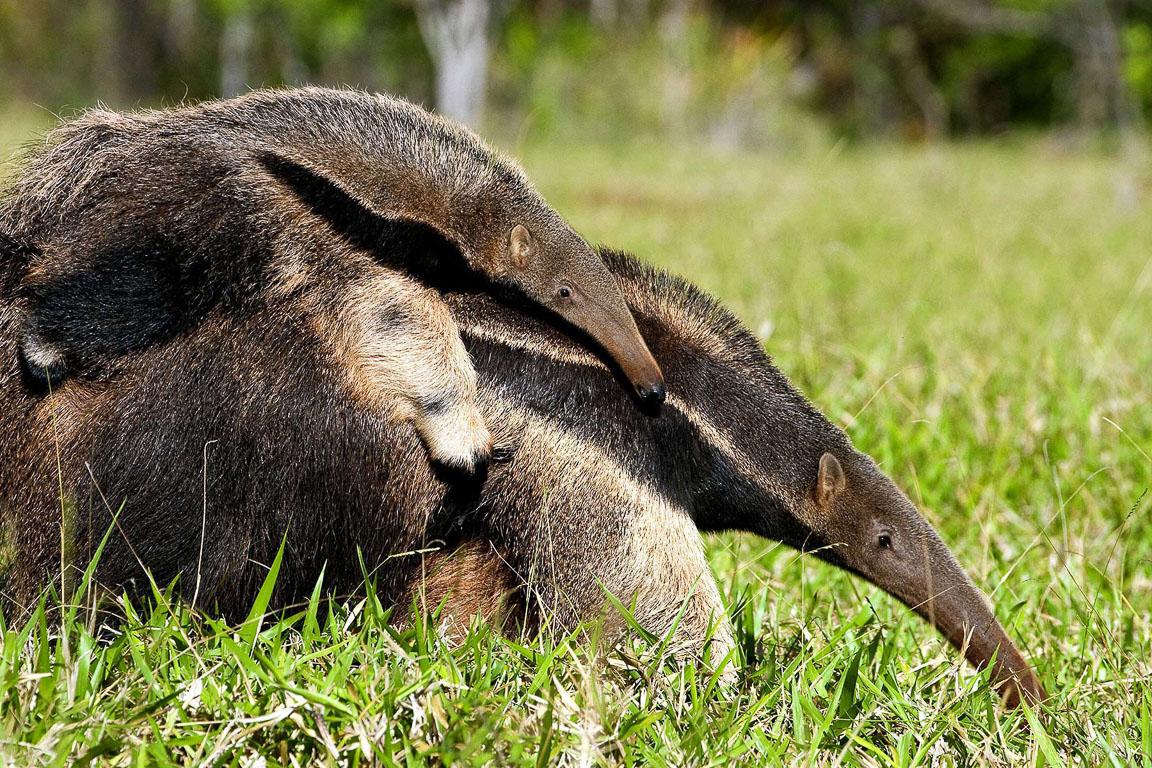 Tamanduá-bandeira filhote. Foto: Daniel De Granville