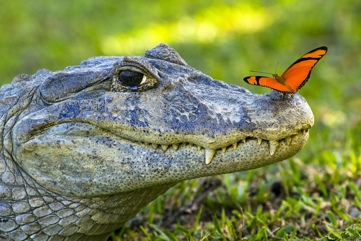 Jacaré e borboleta. Foto: Daniel De Granville