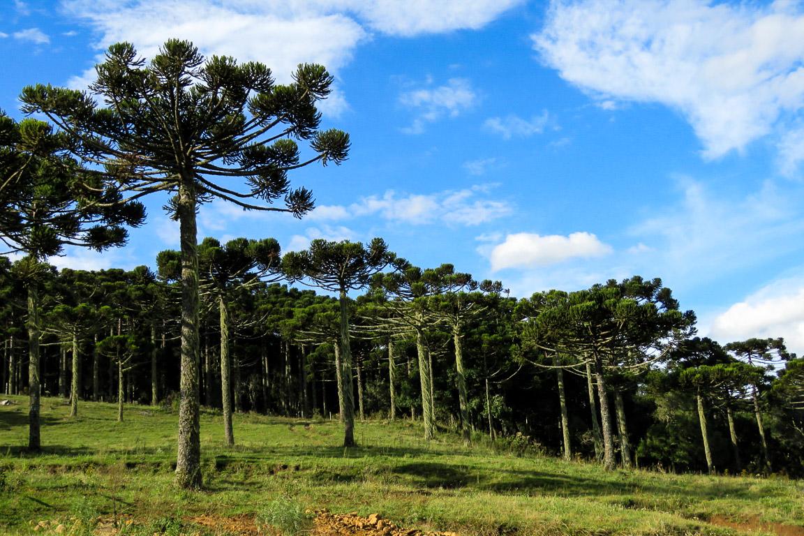 As Araucárias são a espécie arbórea característica de Urupema. Foto: Rita Souza